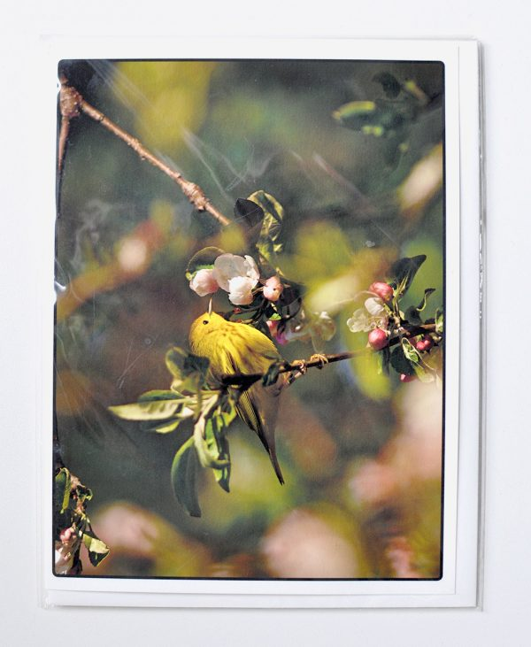 Yellow Warbler in wild apple blossoms – Greeting Card